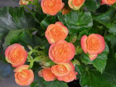 magjat januarban vesd 06 Gardening, Rose, Flowers, Plants, Pink, Lawn And Garden, Plant, Roses, Royal Icing Flowers