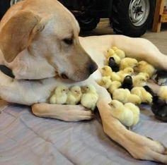 it's a labrador chicken mama