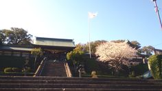 Beautiful Sakura  Suwa shrine, Nagasaki