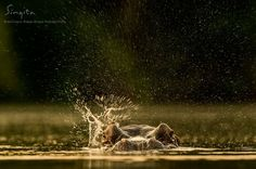 A golden splash from a little flick of the ear. (Ross Couper, Field Guide, Singita Kruger National Park)