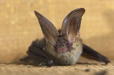 Many bats hate long commutes | BIOSPHERE