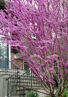 Serenity in the Garden: The 'Forest Pansy' Redbud Tree Trees And Shrubs, Flowering Trees, Redbud Trees, Landscaping Plants, Front Yard Landscaping, Garden Terrarium, Terrariums, White Picket Fence, Organic Gardening Tips