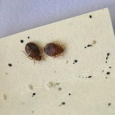 Two adult bed bugs in a petri dish - Photo Credit: Kim Jung Bed Bug Size, Identify Bugs, Signs Of Bed Bugs, Bug Identification, Bed Bugs Pictures, Rid Of Bed Bugs, Bed Bugs Treatment, Petri Dish, Green Bedding