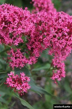 Rote Spornblume Standort und co