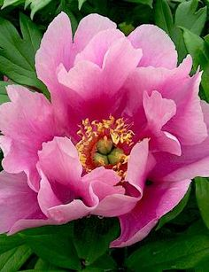 Norwegian Blush is one of our newest Paeonia Itoh varieties in our assortment. And as an Itoh, Norwegian Blush is the ultimate garden peony.