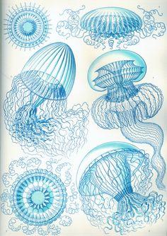 Jellyfish Poster Blue Jellyfish Art Print Ernst Haeckel Illustration Nautical Art Coastal Decor Art Nouveau Wall Hanging Giclee Print USD) by AdamsAleArtPrints Art And Illustration, Nature Illustrations, Antique Illustration, Illustrations Posters, Ernst Haeckel Art, Art Plage, Natural Form Art, Jellyfish Art, How To Draw Jellyfish