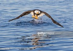 bald eagles pacific northwest - Google Search