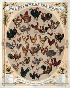 Vintage Poster The poultry of the world, poultry of the world. Portraits of all known valuable breeds of fowl. Fifty-two types of identified chickens. Chromolithograph by L. Prang & Co., Boston, ca. image is approximately Types Of Chickens, Fancy Chickens, Chickens And Roosters, Raising Chickens, Chickens Backyard, Urban Chickens, Backyard Farming, Backyard Birds, Poultry Breeds