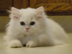 The Traditional Persian also known as Doll Face Persian is considered to be essentially the original breed of Persian cat, without the development of extreme features.