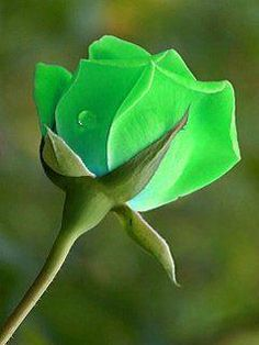 Dyed or photo shopped My Flower, Flower Art, Flower Power, Ronsard Rose, Rose Pictures, Special Flowers, Rose Wallpaper, Love Rose, Green Rose