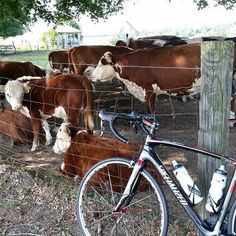 These cows weren't too impressed with my form cycling today. (I wasn't either)