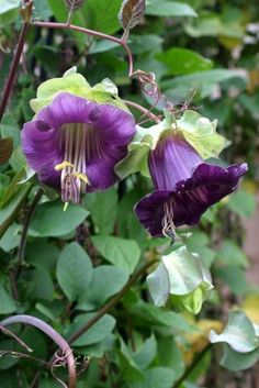 Planted This: Cobaea scandens (Cup & Saucer plant) - amazing vine we put in last year. Need more! Grows like weed, better than ivy.