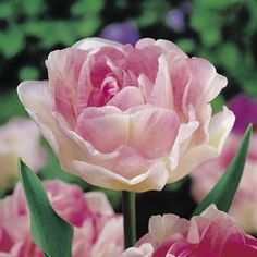 8 Angelique Tulip Soft Pink Petals Double Blooms Perennial Bulbs Zone 3 to 8 Bulb Flowers, Tulips Flowers, Daffodils, Beautiful Flowers, Summer Bulbs, Spring Flowering Bulbs, Spring Bulbs, Geranium Vivace, Sutton Seeds