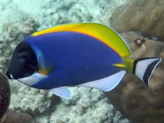 Blue Tang Saltwater Fish