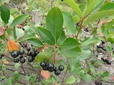 Aronia melanocarpa (Michx.) Elliott - W