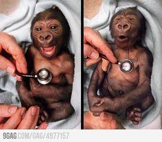Newborn gorilla reacting to a cold stethoscope.