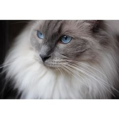 """""""Rocky is a blue point ragdoll who turned 3 on April 11. He is a typical ragdoll and he regularly flops at our feet. However he also has a very mischievous side to him and has a particular fondness for iPhone chargers and cod. You can set your watch by his meowing as at 4 o'clock everyday Rocky starts meowing for cod and doesn't stop until he is fed """" - @mitsyandrocky by @catsofinstagram"""