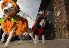 Halloween was made for Jack Russells! Jack Russell  Halloween costumes