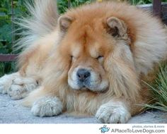 This is the real lion, my Aslan looks less like a lion now :)