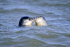 Two baby seals play in the water of the North Sea after they have been returned to the wild by employees of the seal-breeding station of Norddeich,  at the North Sea island Juist on August 6, 2009. (NIGEL TREBLIN/AFP/Getty Images)