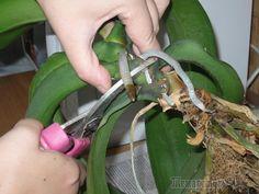 Способы размножения орхидеи Фаленопсис дома