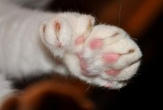 """Cat with extra toes(polydactyly). These extra toes make their paws look gigantic, rather like they are wearing mittens, hence the nicknames """"mitten cat"""" and """"mitten foot cat."""" Another nickname is """"thumb cats,"""" because some polydactyl cats have separated toe clusters which make them appear to have a thumb on their paw. Polydactyls typically have one or two extra toes on their front paws..."""