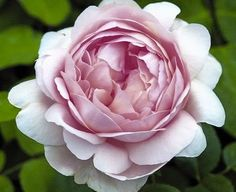 1.Ambridge+rose.jpg (640×523)