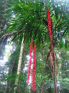Walking stick palm, Australian Rainforest
