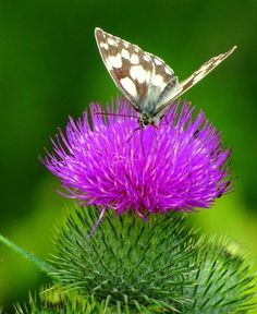Nature, Butterfly, original photography, Thistle, British, Countryside, British countryside by ByGaddArtandDesign on Etsy