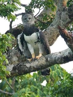 Harpy Eagle in Eastern Venezuela by Chris Townend
