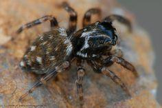 Pseudeuophrys obsoleta Whelk-shell Jumper Spiders, Jumper, Shell, Spider, Jumpers, Sweater, Conch, Bookshelves, Seashells
