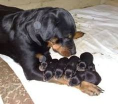 rottweiler dog caring for puppies