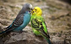Best Spectacular Love Birds Wallpapers High Resolution Desktop Background (1600x1000 pixel) Popular HD Wallpaper #40398 ~ iWallScreen
