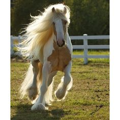 Gypsy Vanner Horses for Sale Stallion Dragon Fire ❤ liked on Polyvore