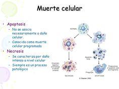 Resultado de imagen para necrosis  celular