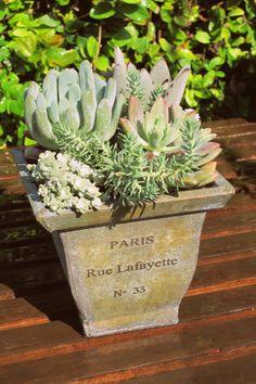 Succulents in Paris container. LaurasLittleGardens.com