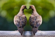 Dove Birds a Fine Art Photograph by RandyNyhofPhotos on Etsy, $30.00