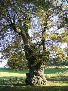 Stourhead Wiltshire England~ 400 year old Walnut tree~ one of many that line the drive to the Grand House at Stourhead