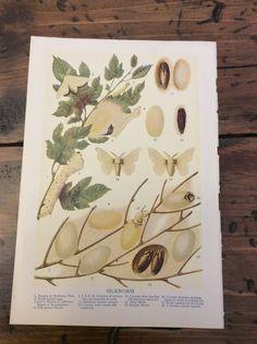 Antique Print - Silkworm - Lithograph (A954)