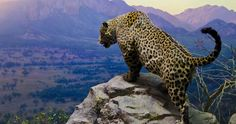 jaguar in mountains 4k ultra hd wallpaper