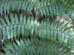 Tree fern closeup, NZ