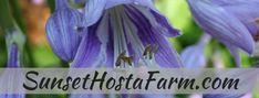 Blog.Sunset Hosta Farm.com: What Are Sun Tolerant Hostas? Hosta Plants, Shade Perennials, Garden Plants, Sun Hostas, Outdoor Plants, Potted Plants, Outdoor Spaces, Garden Yard Ideas, Lawn And Garden