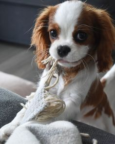 Cavalier King Charles Spaniel Facts All the things we respect about the Fun Cavalier King Charles Spaniel Puppies King Charles Puppy, Cavalier King Charles Dog, King Charles Cocker Spaniel, King Spaniel, Spaniel Puppies, Cute Dogs And Puppies, Baby Dogs, Doggies, Puppies Puppies