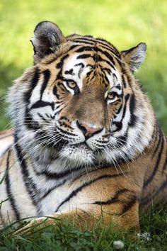 Tiger Portrait- Visit TouCanvas.com for current promotions!