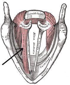thyroarytenoid muscle - Google 검색