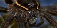Image contains a SPIDER! Image of the Day - Fish eating Spiders on The Scientist