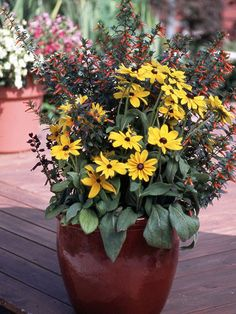 Evocative of autumn, this design has flair and contrast all summer long. The salvia echoes the firecracker blooms in shape and color, leaving the black-eyed Susans to take center stage.    A. Black-eyed Susan (Rudbeckia 'Indian Summer') -- 1  B. Firecracker plant (Cuphea ignea 'David Verity') -- 3  C. Salvia splendens 'Hotline Red' -- 2