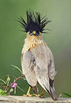 Brahminy Starling (Sturnia pagodarum) in India by Sriram Reddy. Brahminy Starling (Sturnia pagodarum) in India by Sriram Reddy. Funny Birds, Cute Birds, Pretty Birds, Beautiful Birds, Animals Beautiful, Animals And Pets, Funny Animals, Cute Animals, Exotic Birds