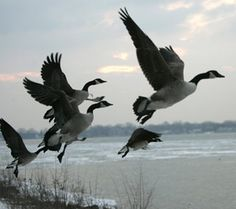 Watch a huge flock of Canada Geese migrating. Love the gentle sound of geese honking overhead!