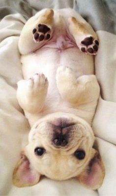 Щенок франзуского бульдога - весёлый и подвижный, хорошо встречает гостей, но в случае опасности готов защищать хозяина и его семью. http://www.ria.com/Pets/Dogs-puppies/buldog/french-bulldog/